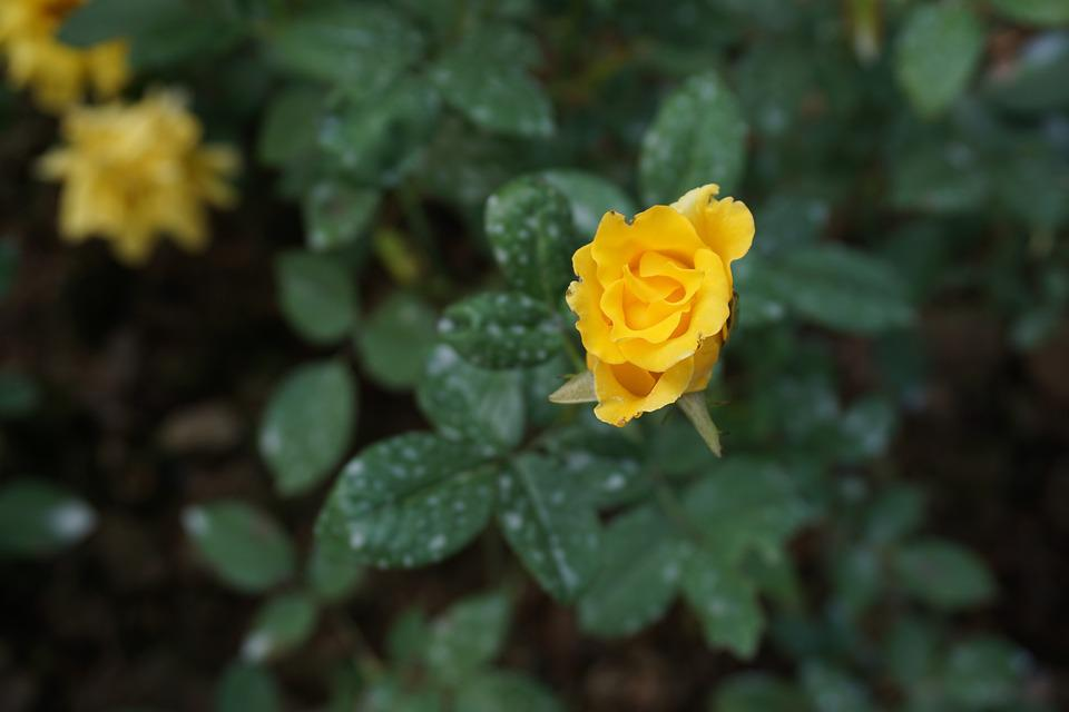 roser gule blade