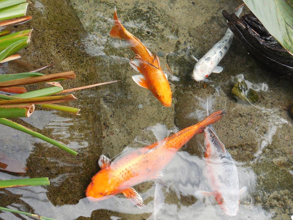 Vissen In Vijver : Goud vis vijver vissen · gratis foto op pixabay