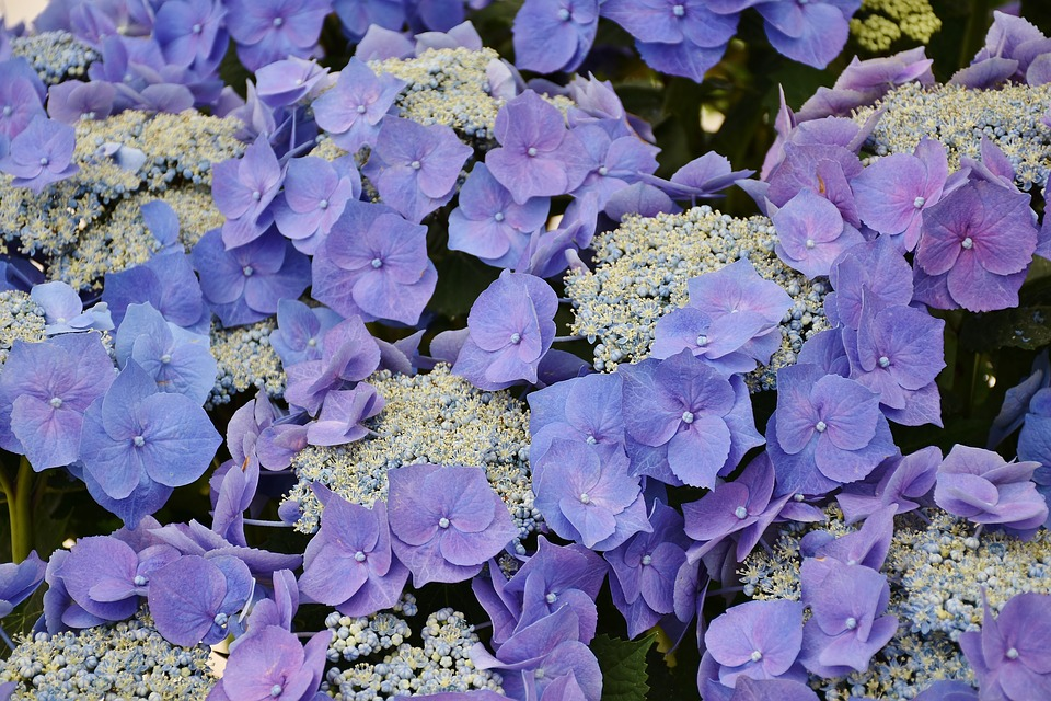 hydrangea  free images on pixabay, Natural flower