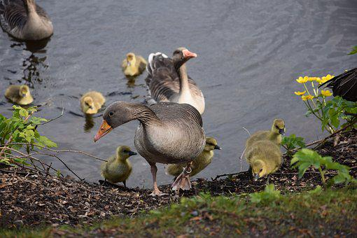 Chicks, Geese, Bird, Goose, Animal