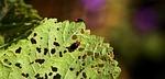 pests, leaf, nature