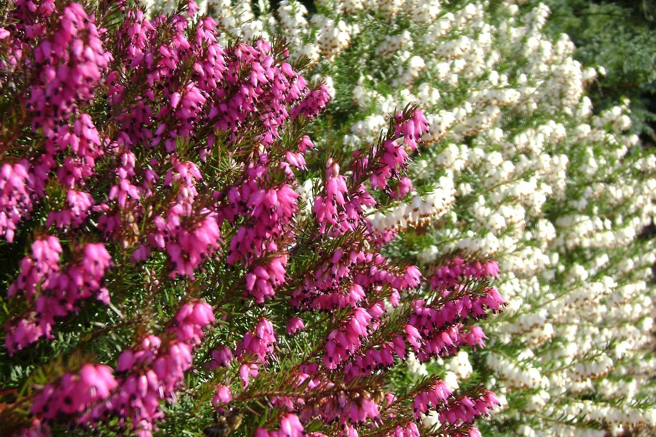 Растение кирказон фото описание барами пабами