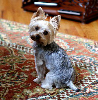 Yorkie, Dog, Cute, Animal, Terrier, Pet