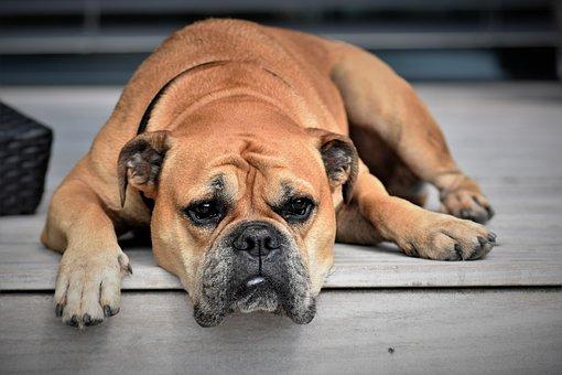 Dog, Animal, Continental Bulldog, Pet
