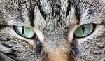 cat, eyes, animal