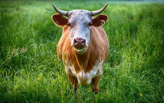 Taureau, Vache, Des Animaux, Ferme