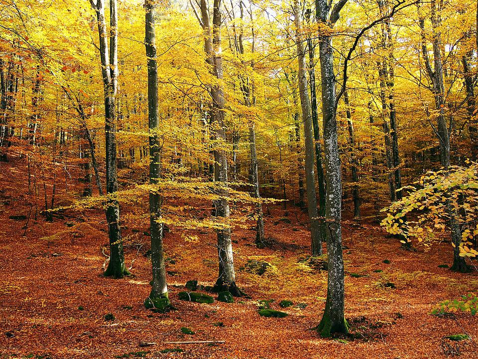 Beech Maple Forest ~ Beech forest autumn colors · free photo on pixabay