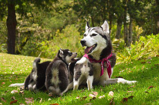 Pets, Dogs, Family, Dogs Playing, Puppy