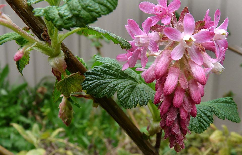 Pink Flowering Currant Free Photo On Pixabay
