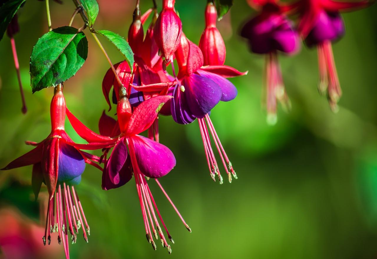Фуксия цветок фото цвета