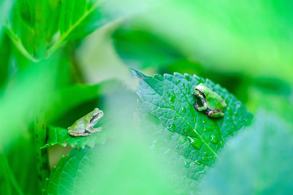 Natural, Plant, Green, Leaf, Japan, Creatures, Frog