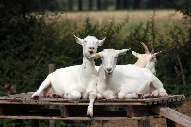 Free photo: Crazy Goats, Goats, Humor, Funny - Free Image ...
