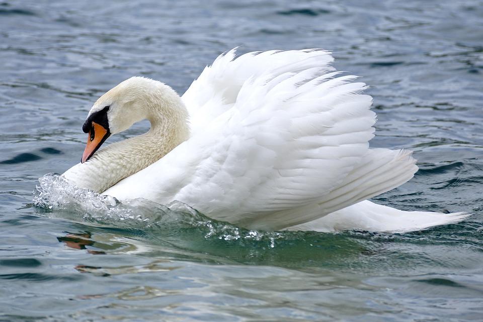 Лебедь на волнах