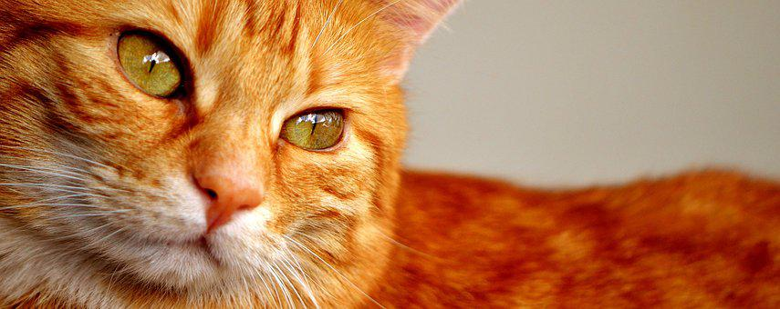 Cat, Red, Mackerel, Cute, Close, Pet