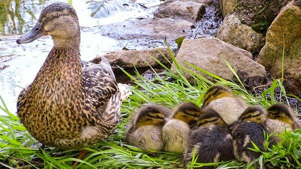 Duck, Wild Duck, Wild Duck Chicks