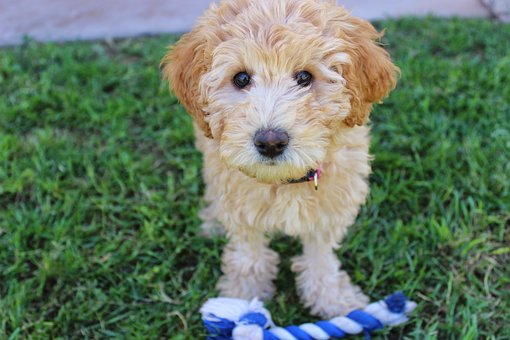 Labradoodle Puppies for sale in New Jersey