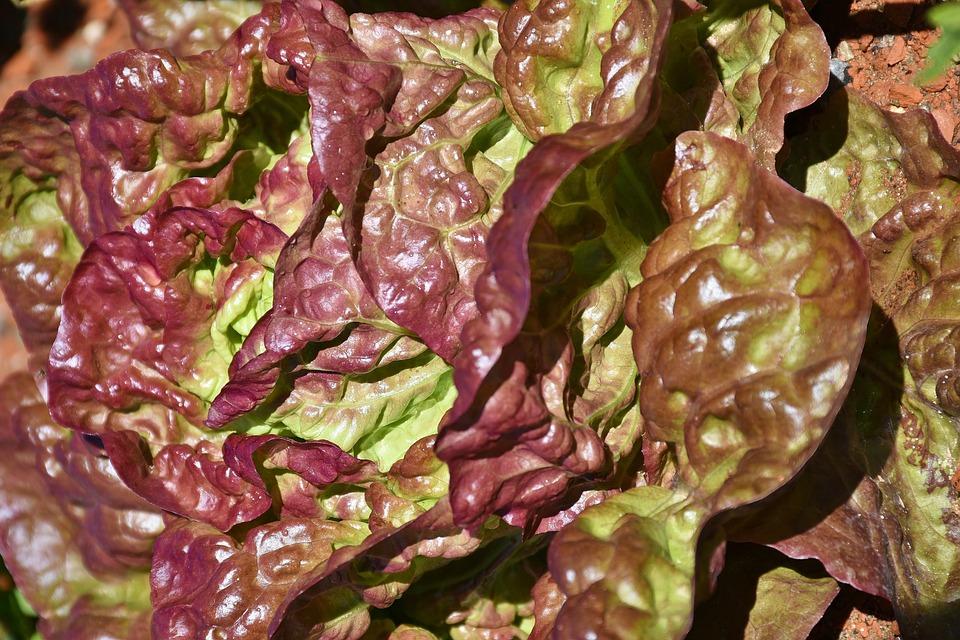 Lollo Rosso, Schnittsalat, Pflücksalat, Blattsalat