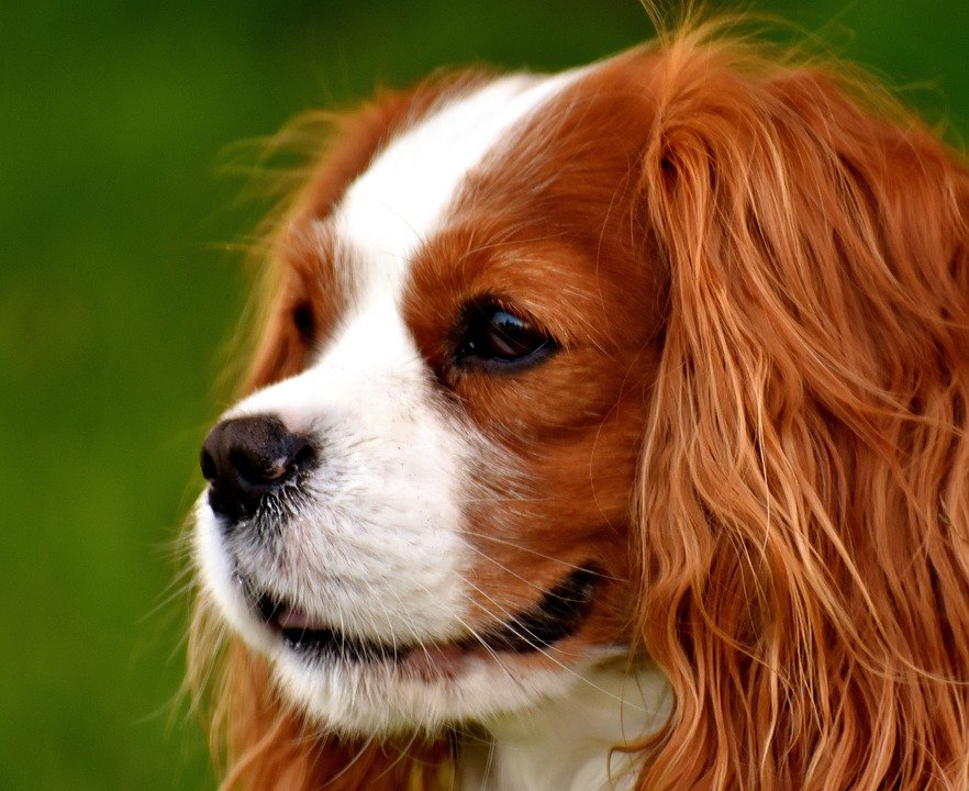 dog cavalier king charles spaniel free photo on pixabay
