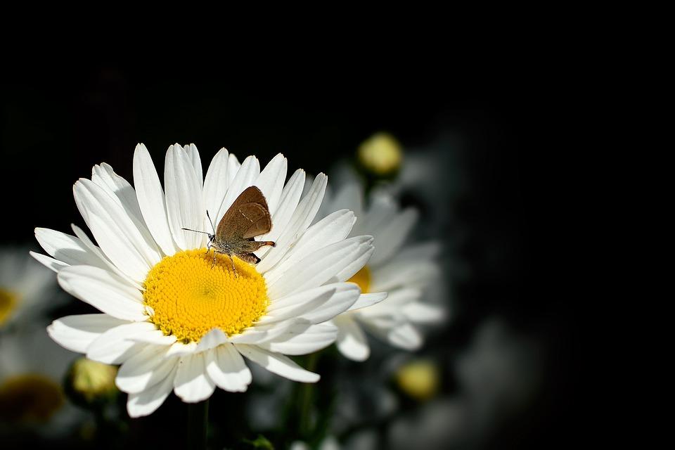 daisy  free images on pixabay, Beautiful flower
