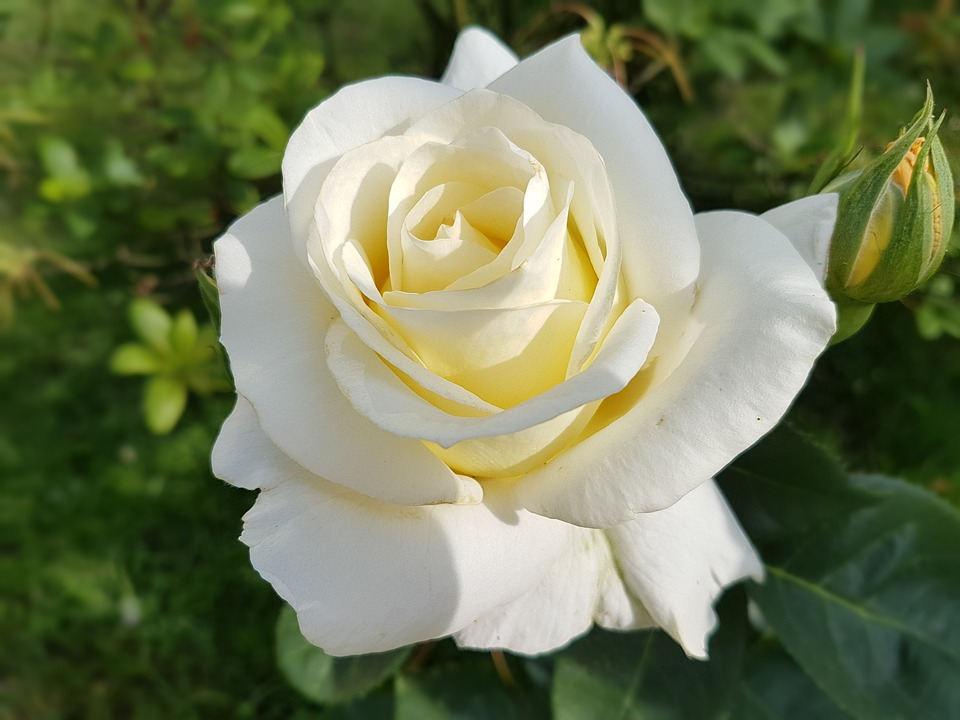 Rose white flowers free photo on pixabay rose white rose flowers summer mightylinksfo