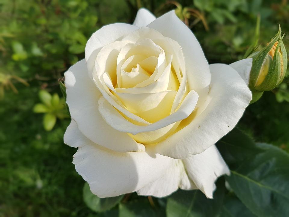 Foto Bunga Mawar Putih