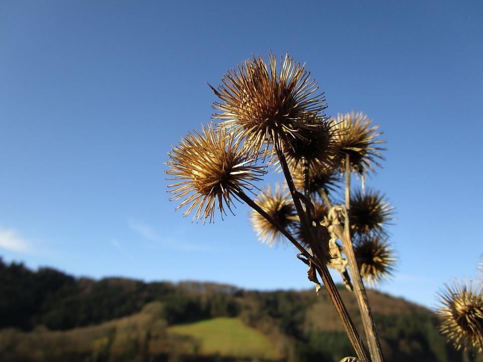 Plantes Chardon Seche Photo Gratuite Sur Pixabay