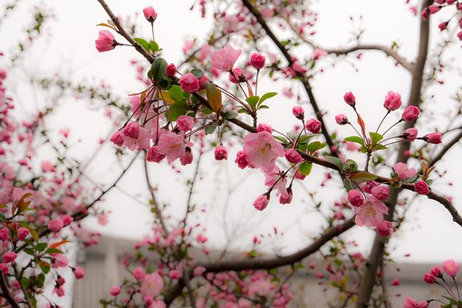 Japan, Cherry Blossoms, Pink