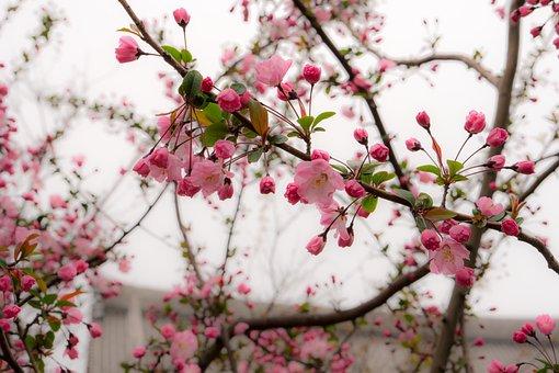Japan, 벚꽃, Pink