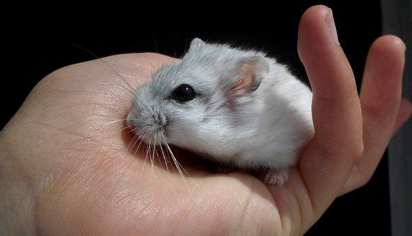 Dzsungáriai Dwarf Hamster, Hamster