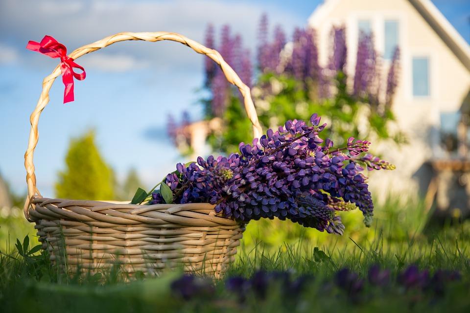 Люпин, Цветы, Корзина, Дача, Лето, Природа, Трава