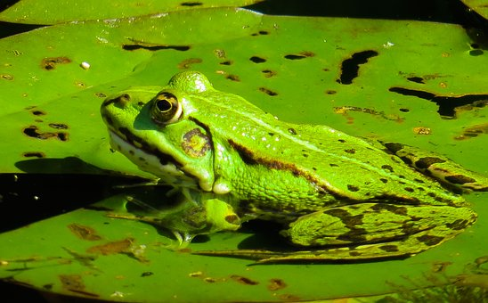 Des Animaux, Nature, Grenouille, Feuille