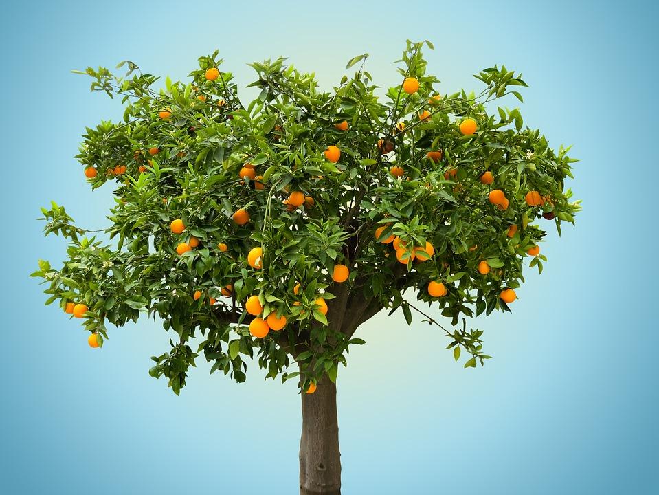 La naturaleza rbol naranja foto gratis en pixabay - Naranjas del arbol a la mesa ...