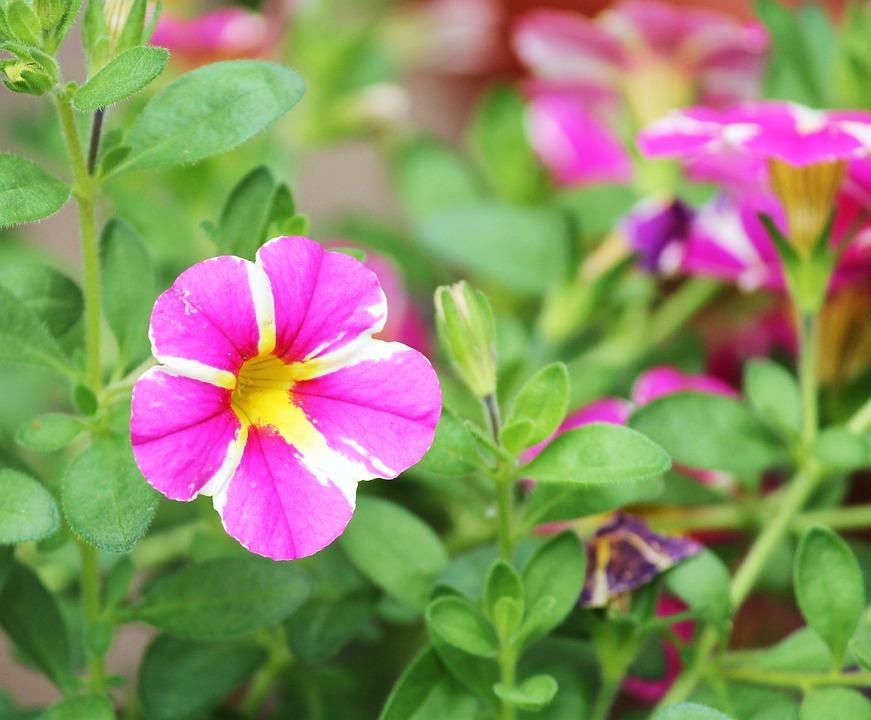 Petunia Ornamental Plant · Free Photo On Pixabay