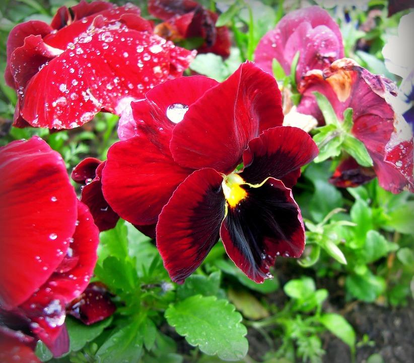パンジーの花言葉・色別3つ・品種別4つ|パンジーの品種や特徴
