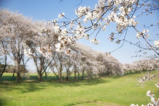 韓国, 桜, 花, フィールド, 春, 木, 桜, 桜, 桜, 桜, 桜