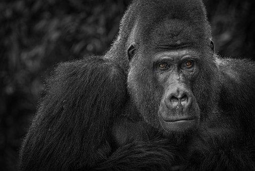 Gorille, Singe, Montre, Noir, Blanc