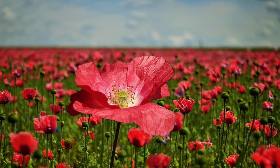 Poppy Flower Field - Free photo on Pixabay