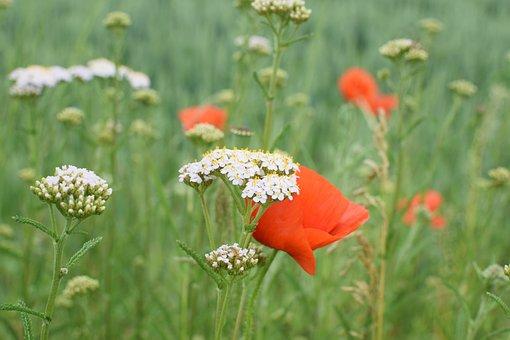 野生の花の草原, シャープな束, Klatschmohn, 草, 自然, 花