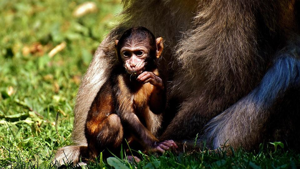 baby monkey barbary ape endangered · free photo on pixabay