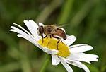 mucha, kwiat, pszczoła