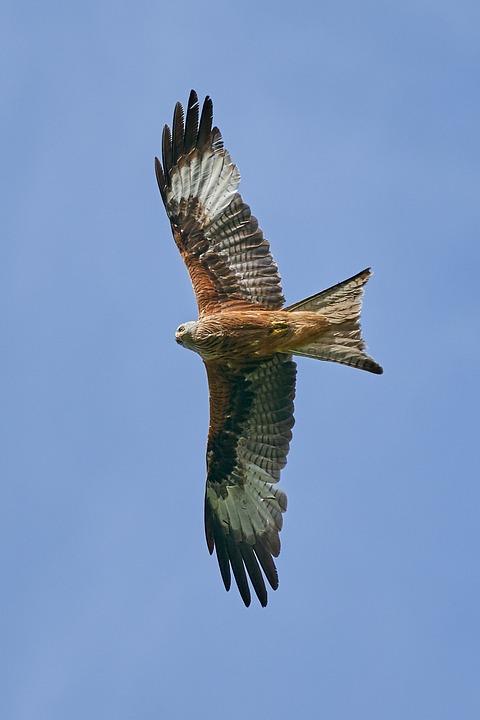 Rotmilan, Raubvogel, Fliegen, Greifvogel, Vogel, Himmel