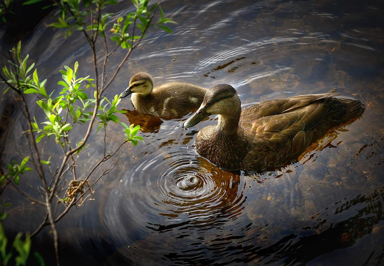 鸭子,鸟,野鸭,湖,水,小鸭,鸟类学,魁北克省,加拿大