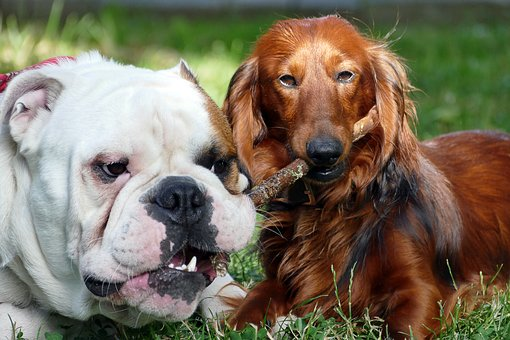 Dogs, English Bulldog, Dachshund