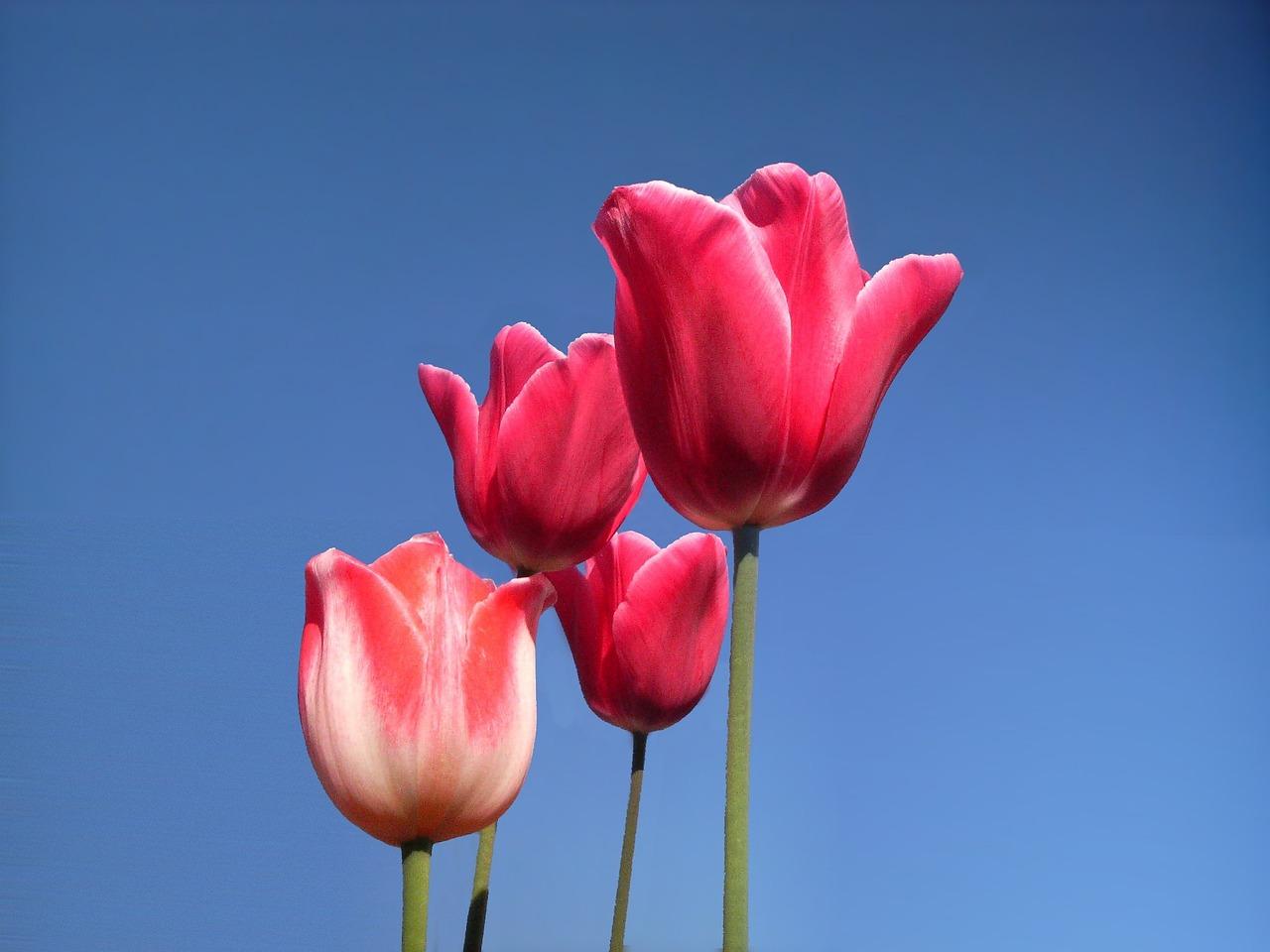 использующаяся картинка из трех тюльпанов новогодняя картинка обои
