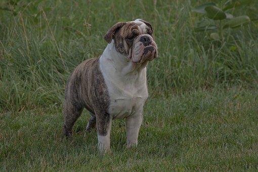 Bulldog, English Bulldog, Pet, Animal