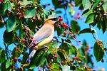 bird, cedar waxwing