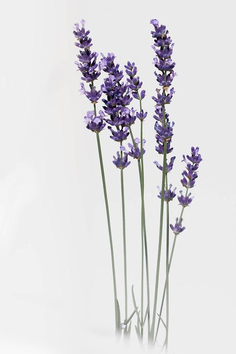free photo lavender, flower, nature, summer  free image on, Beautiful flower