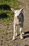 lamb, spring, sheep