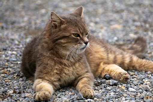 猫, 毛皮, ペット, 動物, 猫の目, 猫の肖像画, 動物の世界, 飼い猫