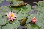 peachy, waterlily, flower